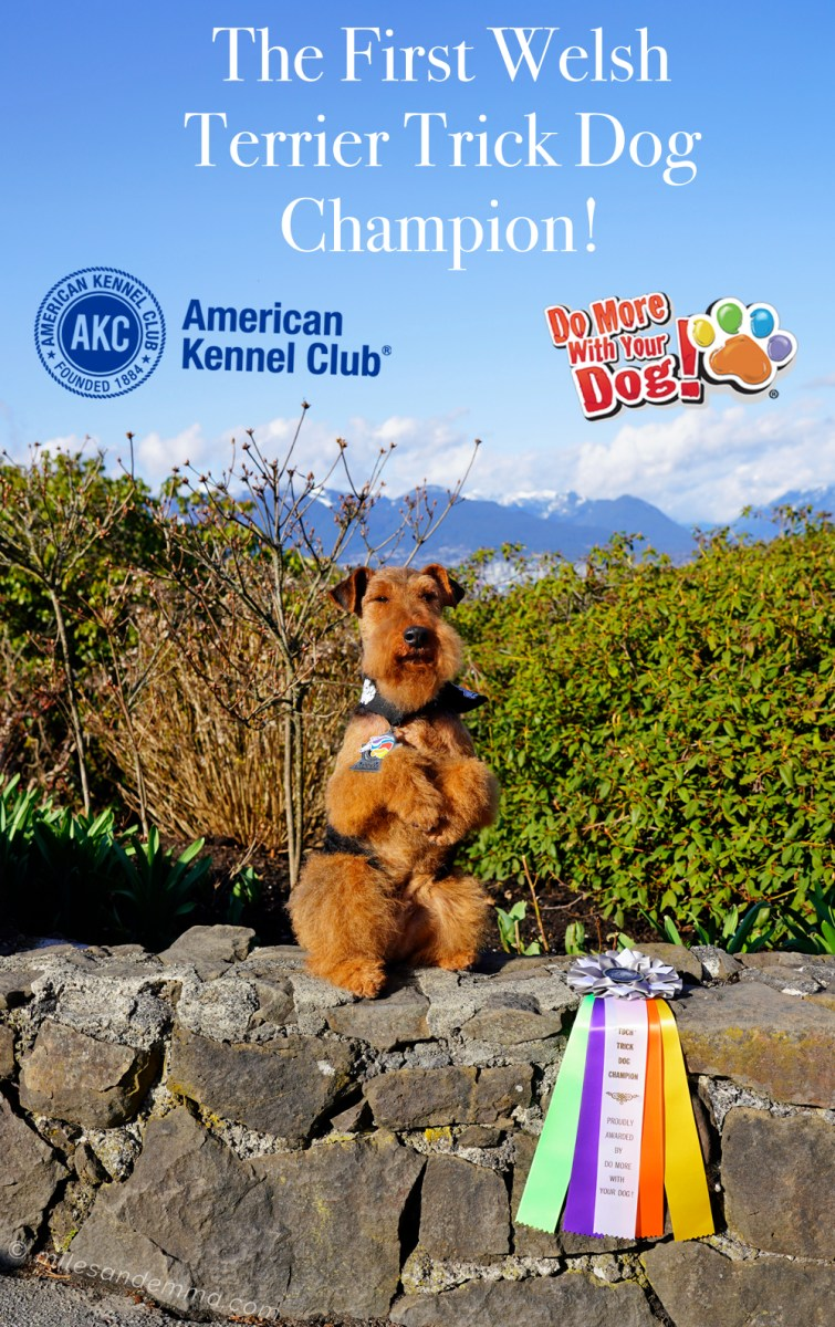 The First Welsh Terrier Trick Dog Champion