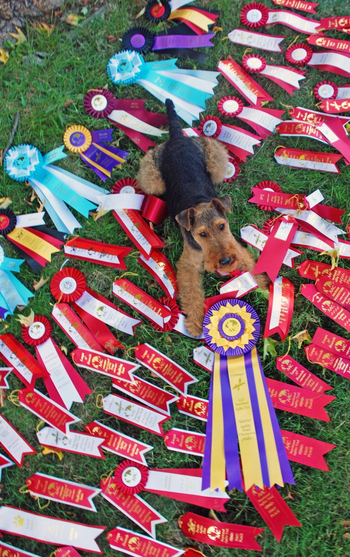 Welsh Terrier Miles achieves ATCHC Title