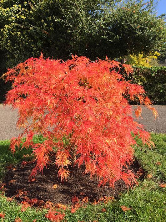Acer palmatum dissectum Viridis autumn