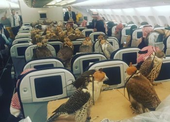 Falcons on a plane