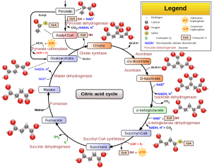 Note the Acetyl and Citrate, resulting from Acetic Acid and Citric Acid, respectively, and their relation to Coenzyme A (CoA). This might be where Citric Acid Intolerance is rooted. Credit Wikipedia, authored by Narayanese, WikiUserPedia, YassineMrabet, TotoBaggins