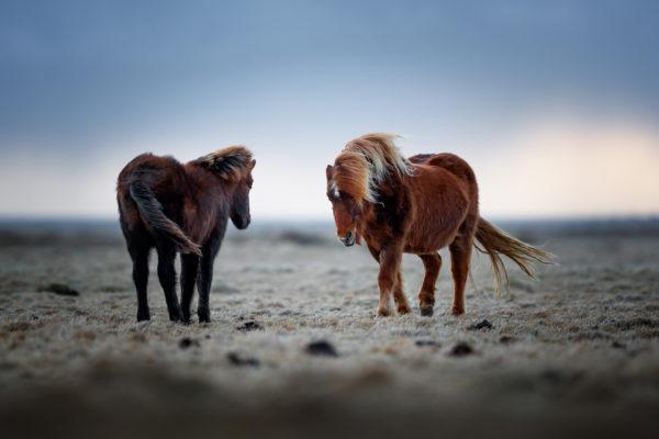 Konie w Islandii