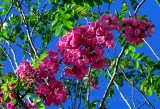Beautiful pink flower clusters on a tree