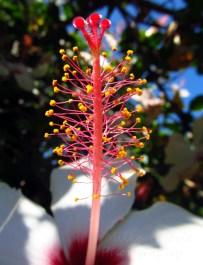 Cee's Fun Foto Challenge: Red hibiscus flower