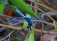 Capture The Colour 2013 photo contest - blue dragonfly