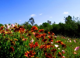 Photo of colorful California wildflowers