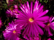 Wordpress weekly photo challenge: the hue of you - lampranthus productus iceplant
