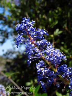 Close-up of Ramona lilac in bloom