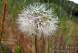Macro Monday: Dandelion in seed