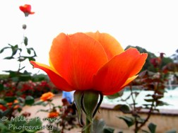 Wordpress weekly photo challenge: an unusual POV - Orange rose at Balboa Park in San Diego