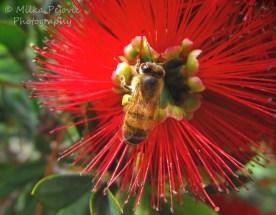 December 2015 - bee on red bottle brush