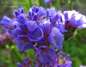 March 2015 - purple wildflowers