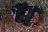 New piglets piling for warmth