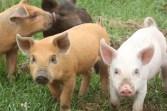 Curious Piglets