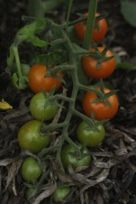 tomatoes to be
