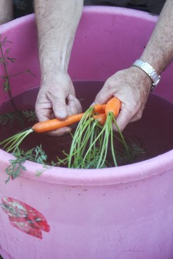 first carrots of the year