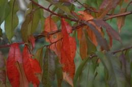 autumn peach tree leaves reminding me of mango trees