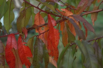 autumn peach tree leaves reminding me of mango trees