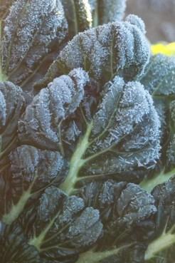 Frosty Tatsoi