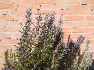 Rosmarino officinale