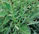 Eruca vesicaria (rucola)