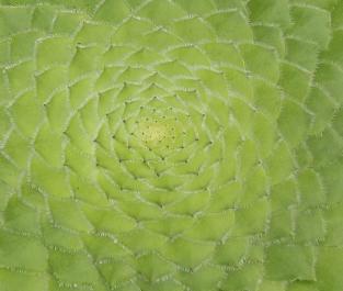 Aeonium tabulaeforme: mandala vegetale