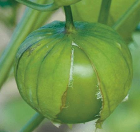 Tomatillo Physalis philadelphica:il pomodoro che si raccoglie confezionato
