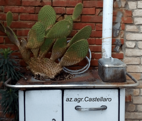 cactacee e succulente: temperature minime per  superare l'inverno