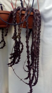 ceropegia-armandii-pianta-madre