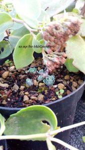 Sedum spectabile, vegetazione autunnale