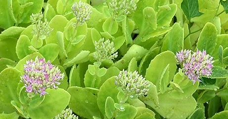 Sedum spectabile pianta medicinale dei vecchi giardini