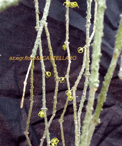 Cynanchum marnierianum, asclepiadacea dal Madagascar