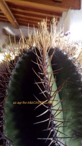 Astrophytum con spinatura normale