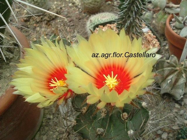 Astrophytum capricorne in fiore