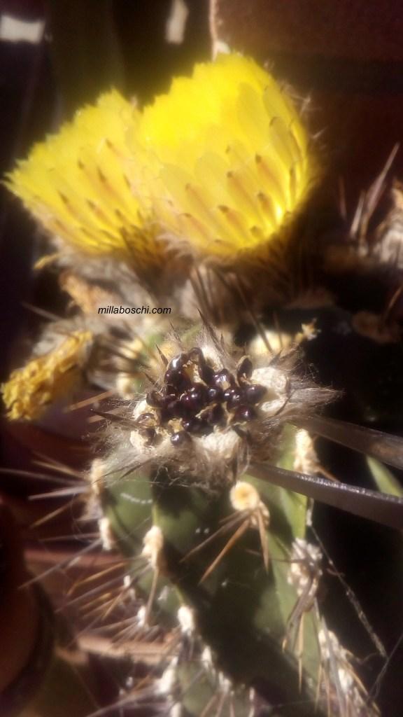 Astrophytum ornatum semi