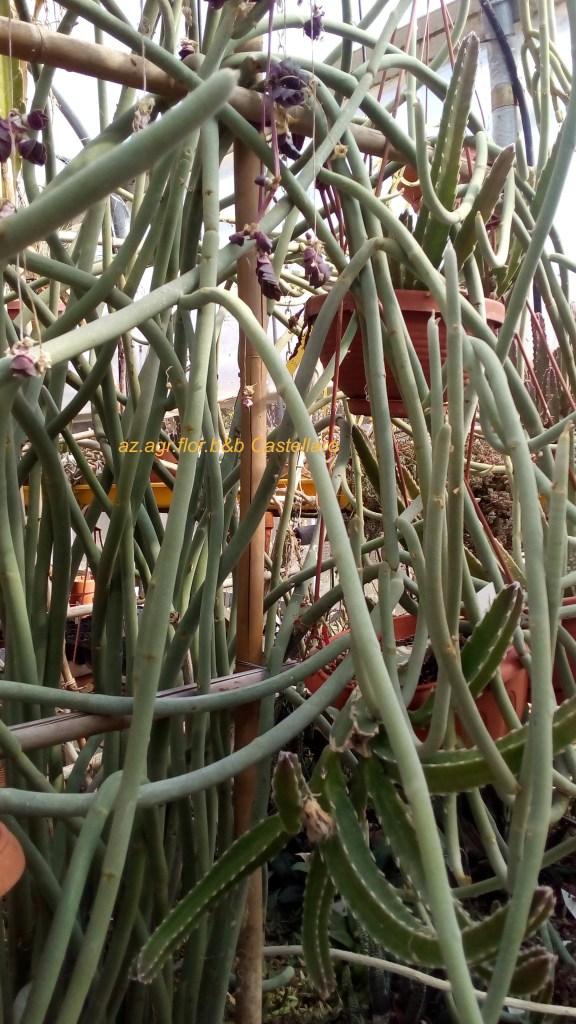 Pedilanthus, un ramo solo non si regge in pedi, tanti formano un cespuglio resistente al vento.
