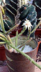 """i rami messi a radicare fioriscono, forse per ringraziare di un contenitore così """"messicano"""""""