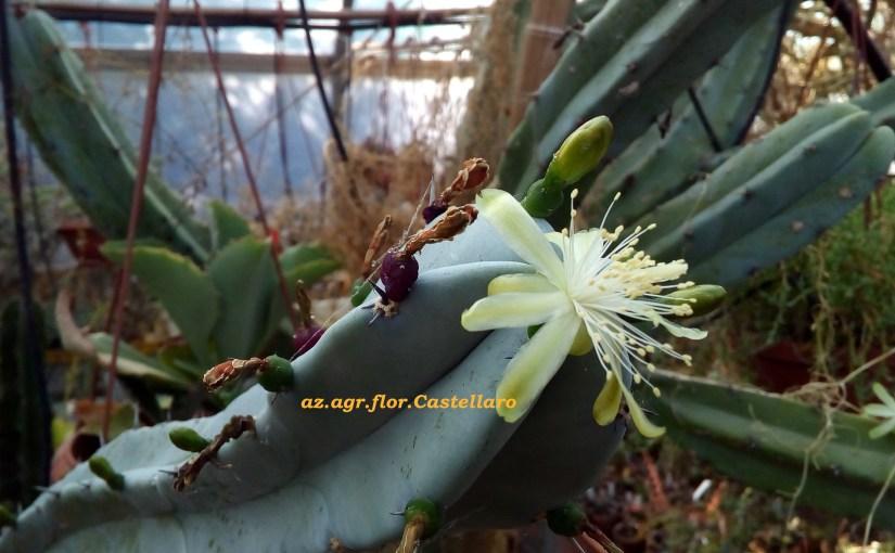 Myrtillocactus geometrizans, boccioli, fiori, frutti
