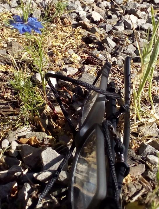 Nigella sativa di 8 cm in fiore