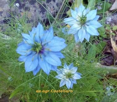 Nigella sativa molte tonalità sulla stessa pianta