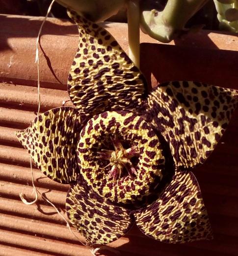Orbea variegata, si lancia fuori e aderisce al vaso.