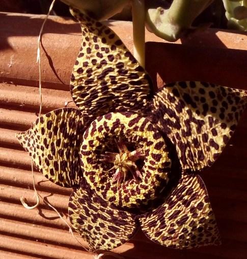 Orbea variegata, puzzolentissima asclepiadacea sudafricana