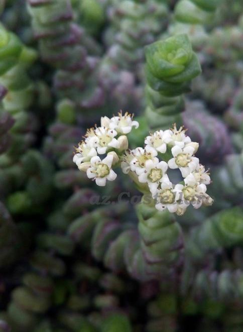 Crassula marnieriana, odore pestilenziale di caprone