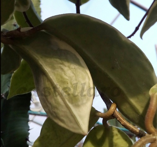 Hoya carnosa variegata assetata
