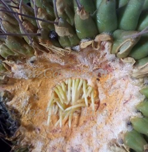 Mammillaria magnimamma: talea radicantissima
