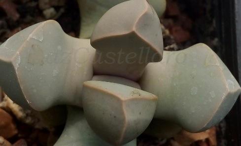 Lapidaria margaretae, così perfetta da chiedersi: vera o finta?