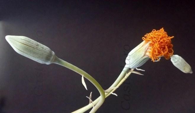 Senecio jacobsenii fiore