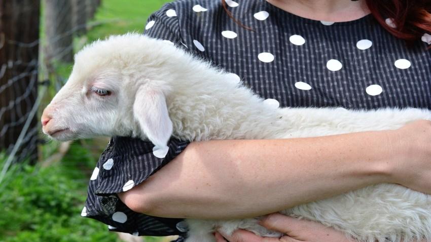 Ayudas para las ganaderias de ovino y caprino afectadas por el coronavirus1920