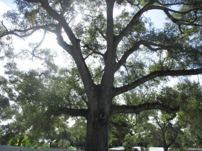 hurricane irma oak tree