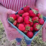 Fresh Picked Strawberries